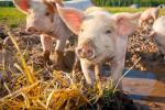 The Latest In US Grocery PC: Humanely Raised Hogs