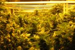 Cannabis Cultivation