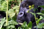 Gorilla Virunga National Park Democratic Republic of Congo