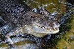 Saltwater crocodiles are known to inhabit the area around Australia's Lake Placid, but attacks are relatively rare