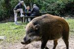 Hong Kong boasts large tracts of subtropical mountains and parkland that host a thriving number of Eurasian wild pigs