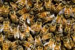 bees-292132_1920