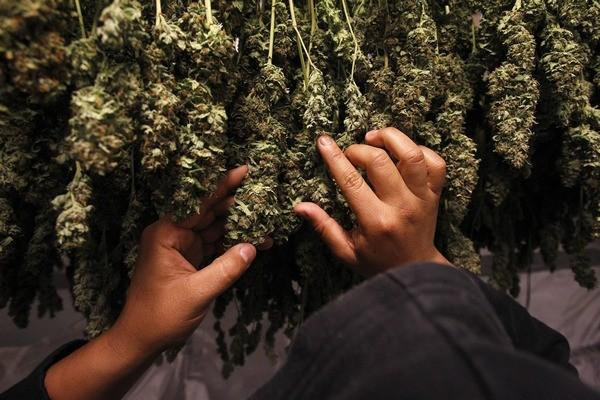 Medical marijuana plants are pictured as they dry in the Los Angeles area June 1, 2010.