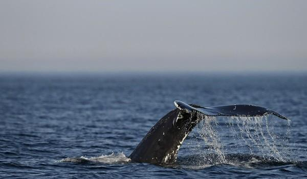 A humpback whale's tail comes out of the water during a ride on the Les Ecumeurs boat on the St. Lawrence river at Les Escoumins, Quebec, August 13, 2009.