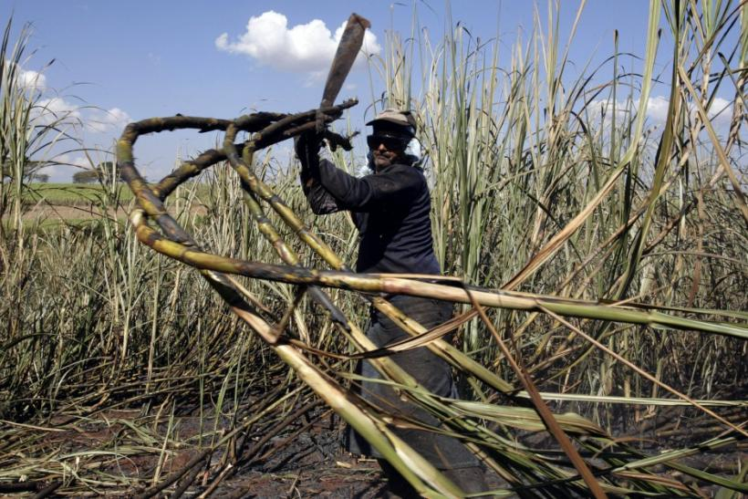 A worker cuts sugar cane for raw sugar and ethanol fuel production on the prop