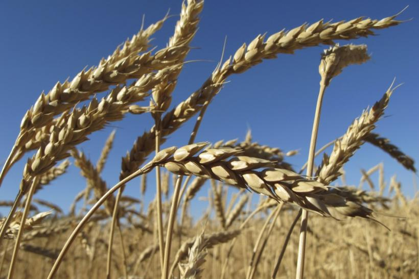 Ears of wheat are seen in a field