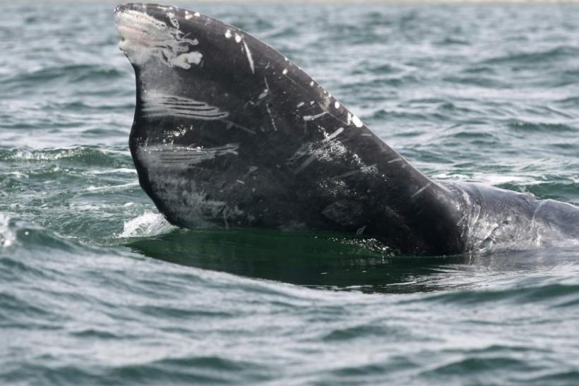 Part of a gray whale's tail is seen during a whale tour in the Laguna Oj