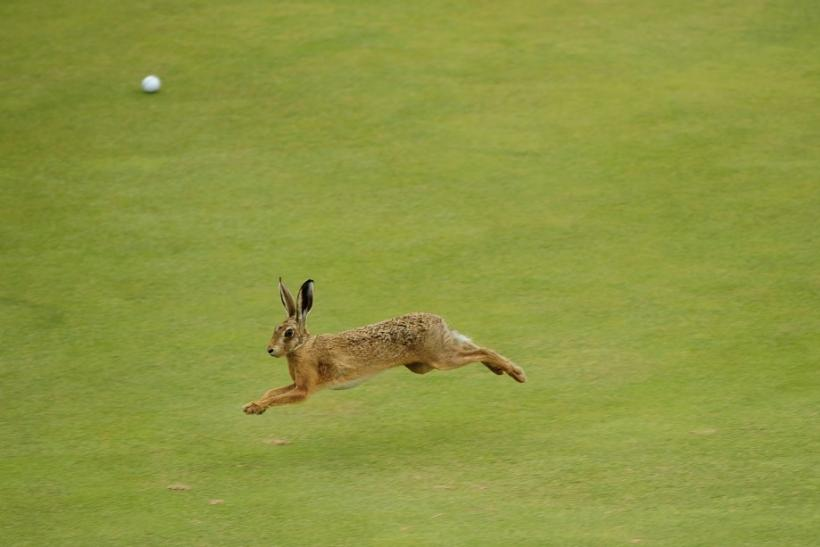 A hare runs across the sixth green during the first round of the British Open golf championship at Royal St George's in Sandwich