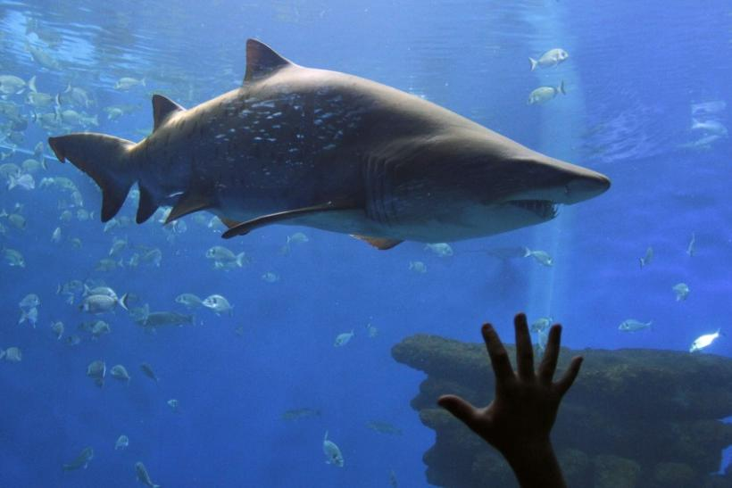 A shark is seen swimming in an aquarium on the Spanish island of Mallorca