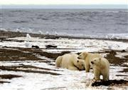 Polar Bears Sick As Toxins Foul Arctic Sea Food Chains