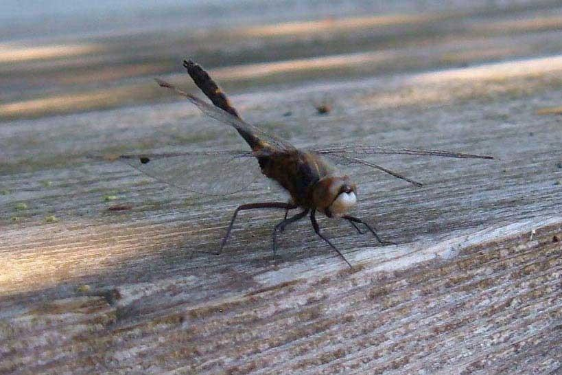 Fish Scare Dragonflies to Death