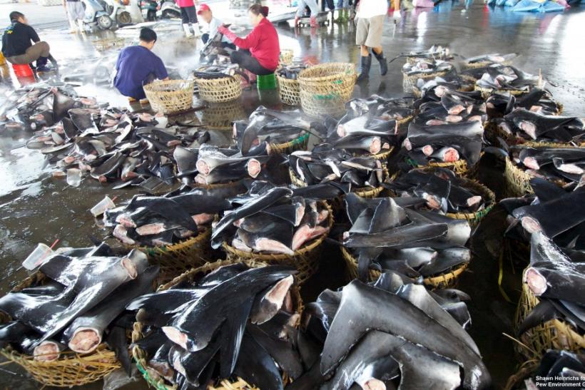 Processing shark fins.