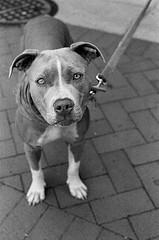 Gangs In London Breed Ferocious Dogs Injecting Them With Steroids For Toughness