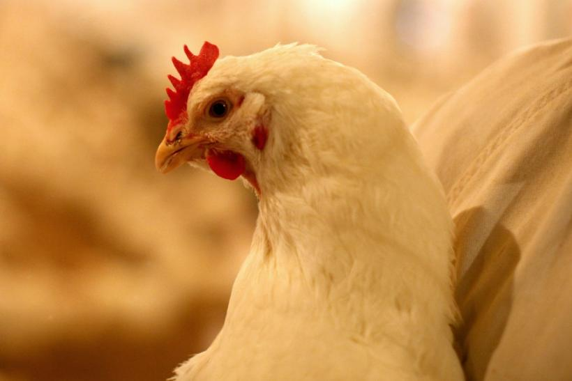 Chicken Given Banned Antibiotics
