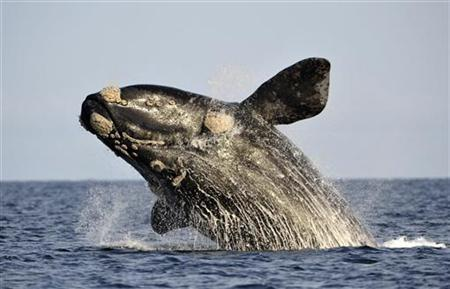 A southern right whale, known in Spanish as ballena franca austral, jumps off the water in the Atlantic Sea, offshore Golfo Nuevo, near Argentina's Patagonian village of Puerto Piramides, June 17, 2011.