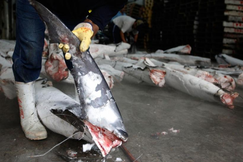 Singapore Airlines Bans Shark Fins From Its Cargo Planes