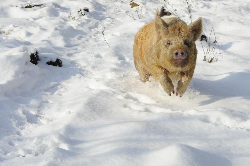 Bramble, a Tamworth pig, runs in snow at Sinnington, northern England