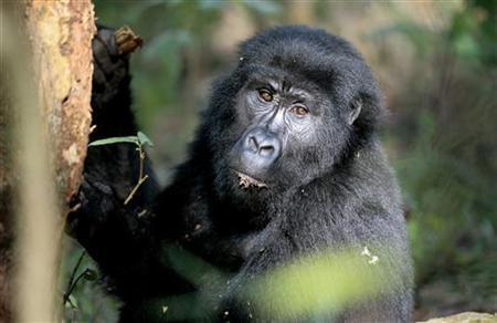 A New Business For Organized Crime: Great Apes