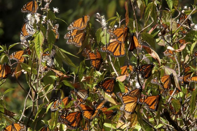 Monarch Butterfly Population Continues Steady Decline