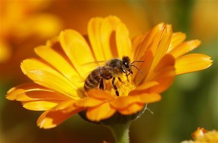 A bee is seen sitting on a Marigold flower in a field of a private plantation near the village of Pishchalovo, about 220 km (138 miles) east of Minsk in this July 18, 2011 file photogaph.