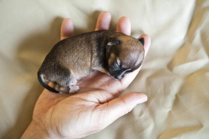 Beyonce: World's Smallest Dog