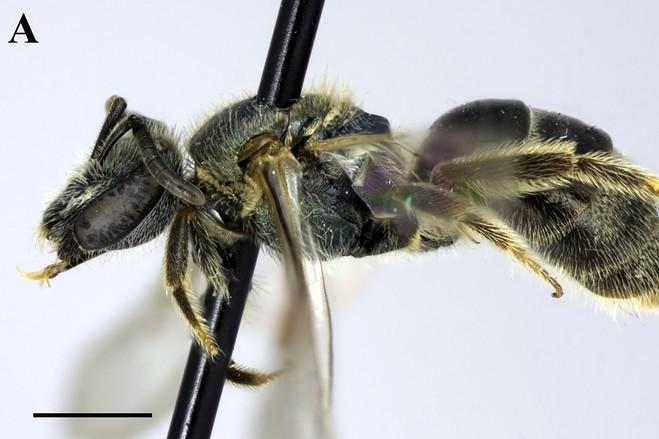 New Bee Feeds On New Yorker's Sweat