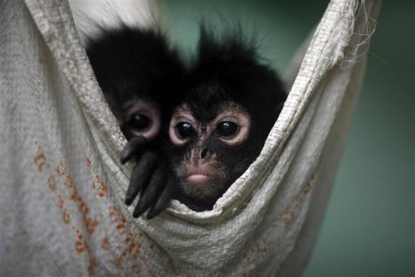 Smuggling Spider Monkeys