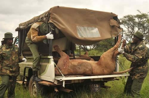 KWS Rangers Loading One Of The Killed Lions On To Their Vehicle.