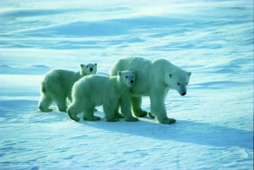 Polar bears near Churchill, Manitoba