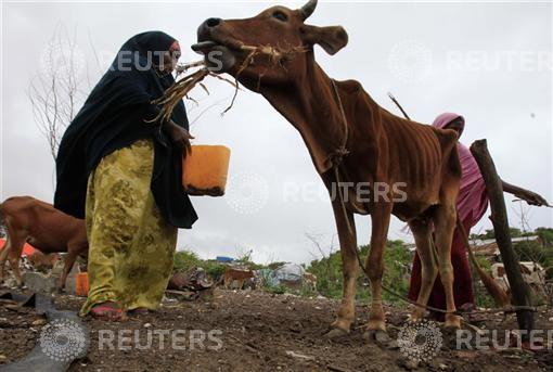 A woman feeds her drought-stricken cattle with dried corn leaves in Mogadishu