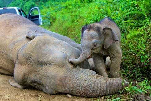 Why Were 10 Borneo Pygmy Elephants Found Dead In The Malaysian Forest? Officials Suspect Poisoning