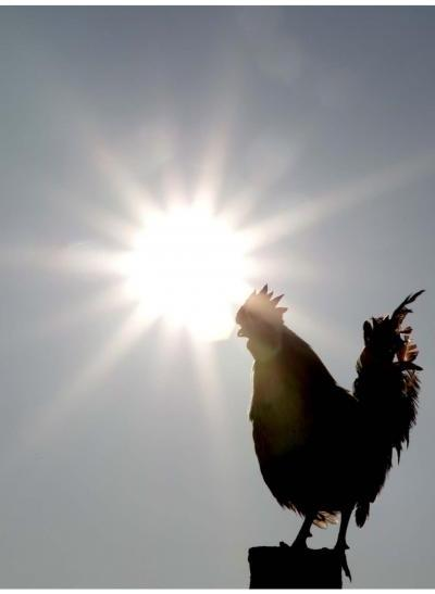 Rooster's Crow Driven By Internal Clock: Study
