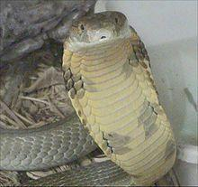 53 King Cobras Seized From Car In Vietnam