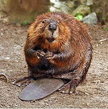 Beaver Kills Fisherman With Deadly Bite