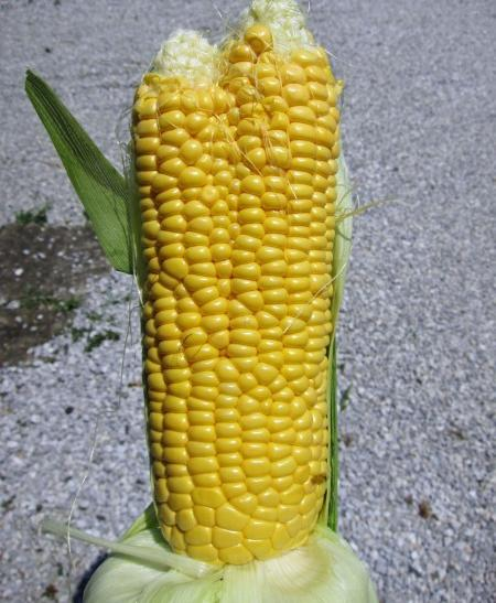 effects of radiation on corn The study was conducted to determine the effects of gamma radiation on corn morphological development and cytology corn seeds were irradiated with varying dosage of 40, 50 and 80 peak kilovolts gamma irradiation effects on seed germination and growth.