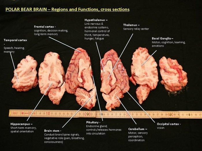 polar bear brain