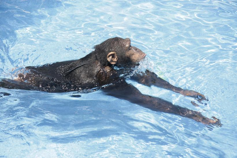 Ape Swimming