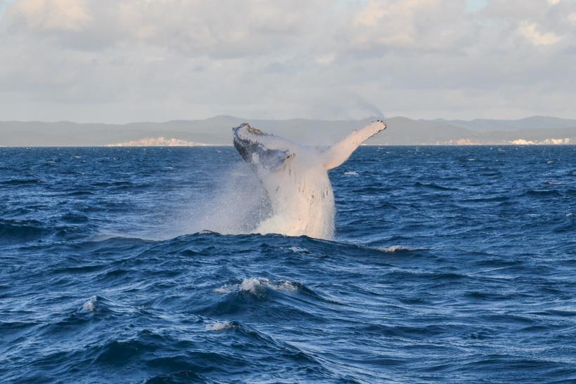 Hervey Bay whale watching tours