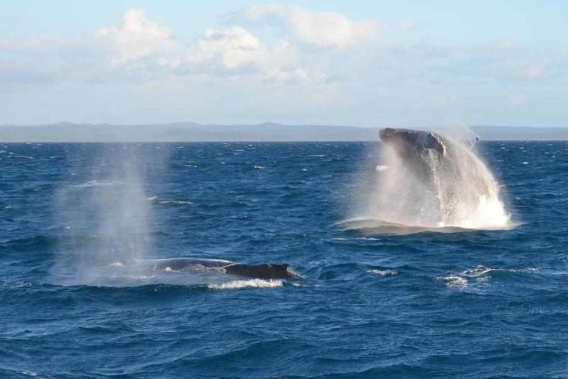 humpback whales harvey bay australia