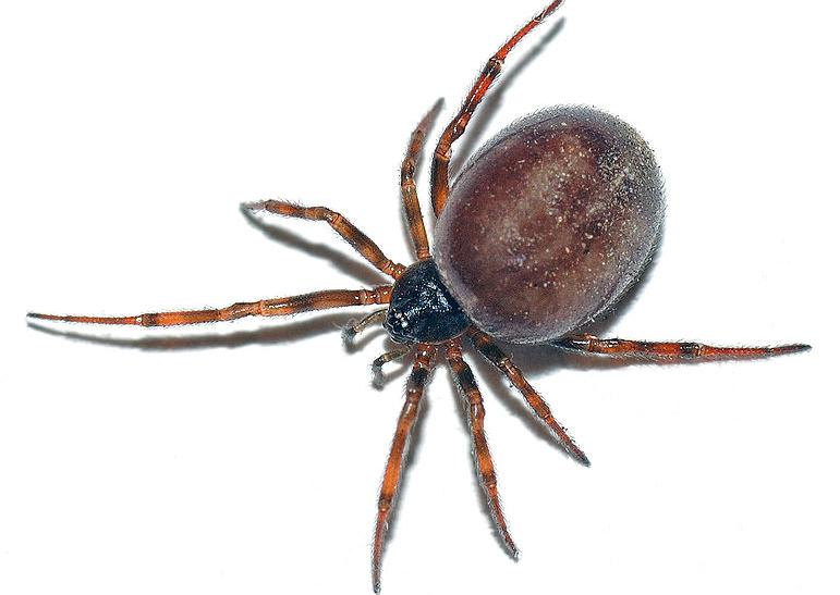 false-widow-spider