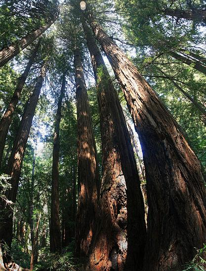 Redwoods Have Been 'Recording' Coastal Climate History For Thousands Of Years