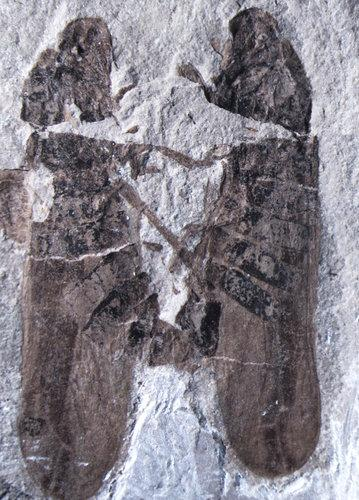 Scientists Discover The Oldest Known Fossil Of Mating Bugs