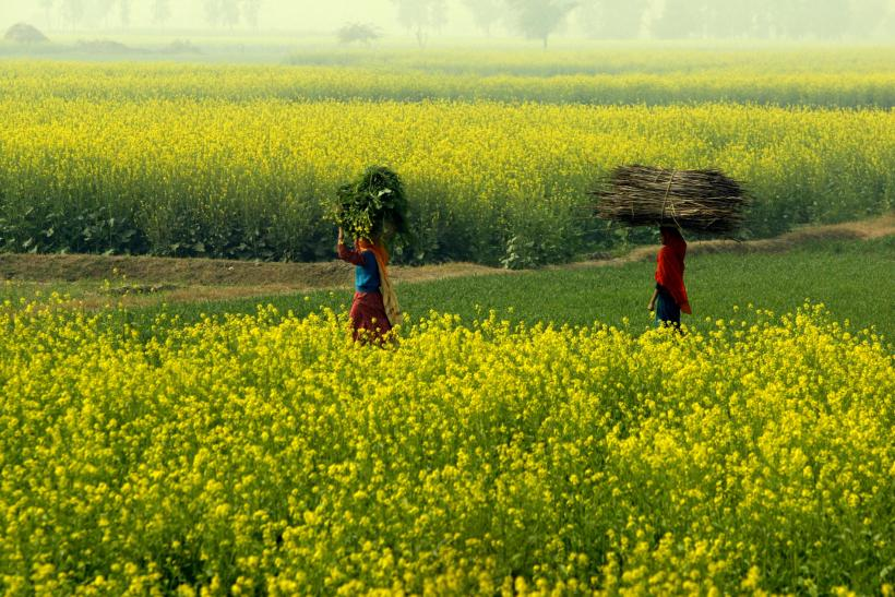 Haryana Farmland, India