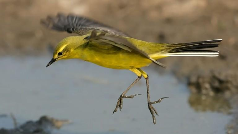 Yellow wagtail, an endangered species