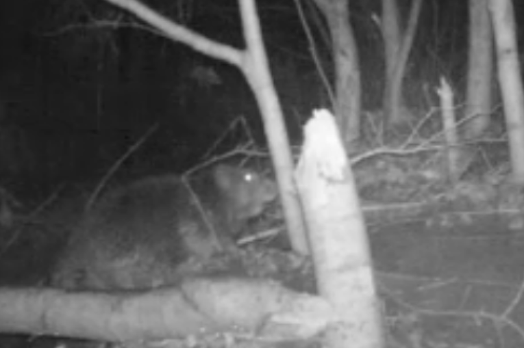 Wild Beaver Caught On Camera