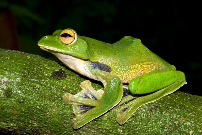 Giant green flying frog