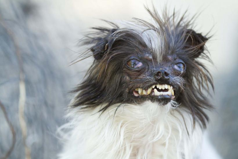 Peanut  - World's Ugliest Dog Contest 2014 Contestant