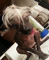 Sweepee-Rambo - World's Ugliest Dog Contest 2014 Contestant