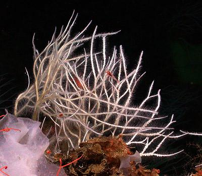 'Killer' Sea Sponges: Four New Species Of Carnivorous Sponges Discovered In Deep Seas Of North Pacific