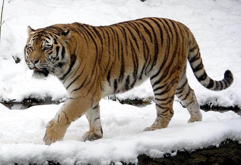 Killer Russian Tiger On The Loose In China: Feline Attack Tied To Vladimir Putin
